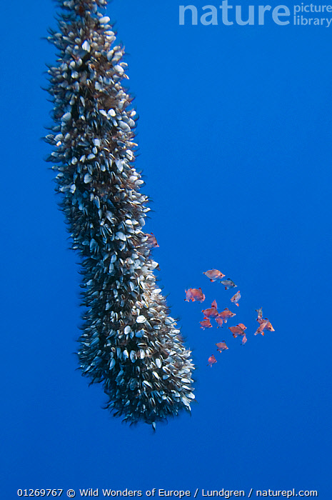 Gooseneck barnacles on a drifting rope and a small shoal of Boarfish (Capros aper) seeking shelter, Pico, Azores, Portugal, June 2009  ,  ARTHROPODS,ATLANTIC,BARNACLES,BOAR FISH,CRUSTACEANS,EUROPE,FISH,GROUPS,INVERTEBRATES,MAGNUS LUNDGREN,MARINE,MIXED SPECIES,OSTEICHTHYES,PORTUGAL,TEMPERATE,UNDERWATER,VERTEBRATES,VERTICAL,WWE,AZORES  ,  Wild Wonders of Europe / Lundgren