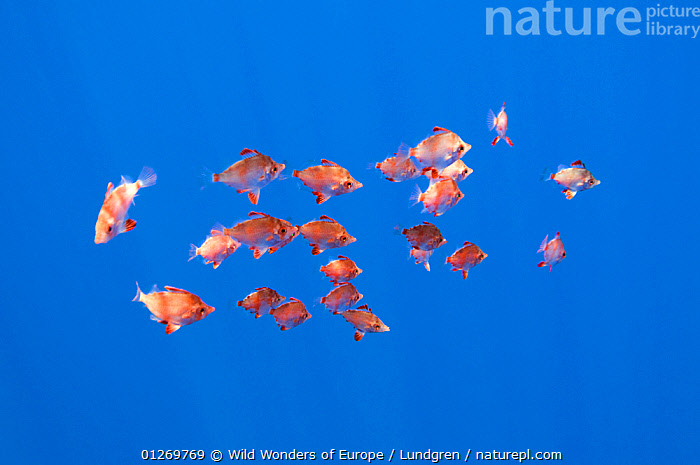 Small shoal of Boarfish (Capros aper) Pico, Azores, Portugal, June 2009  ,  ATLANTIC,BOAR FISH,EUROPE,FISH,GROUPS,MAGNUS LUNDGREN,MARINE,ORANGE,OSTEICHTHYES,PORTUGAL,SHOAL,TEMPERATE,UNDERWATER,VERTEBRATES,WWE,AZORES  ,  Wild Wonders of Europe / Lundgren