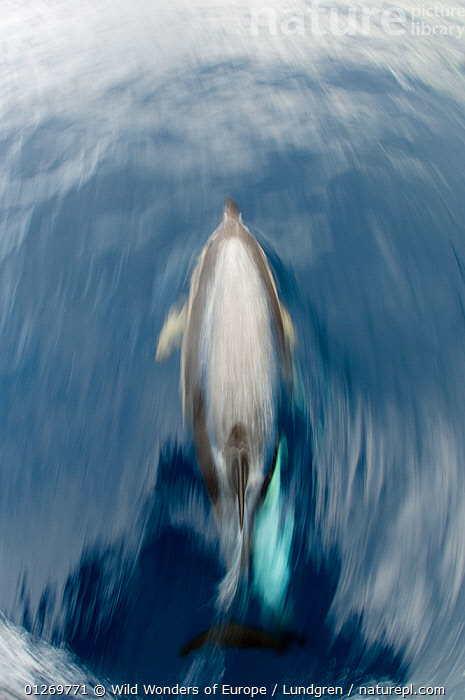 Common dolphin (Delphinus delphis) surfacing, Pico, Azores, Portugal, June 2009  ,  ACTION,ATLANTIC,BEHAVIOUR,CETACEANS,DOLPHINS,EUROPE,HIGH ANGLE SHOT,MAGNUS LUNDGREN,MAMMALS,MARINE,MOVEMENT,PORTUGAL,SURFACE,TEMPERATE,VERTEBRATES,VERTICAL,WWE,AZORES  ,  Wild Wonders of Europe / Lundgren