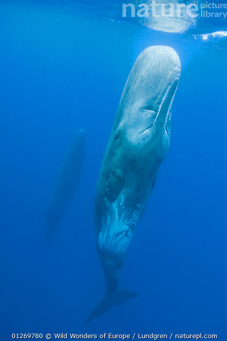 Sperm whale (Physeter macrocephalus) resting in water, Pico, Azores, Portugal, June 2009. WWE INDOOR EXHIBITION  ,  ATLANTIC,BEHAVIOUR,CETACEANS,EUROPE,MAGNUS LUNDGREN,MAMMALS,MARINE,PORTUGAL,TEMPERATE,UNDERWATER,VERTEBRATES,VERTICAL,WHALES,WWE,AZORES  ,  Wild Wonders of Europe / Lundgren