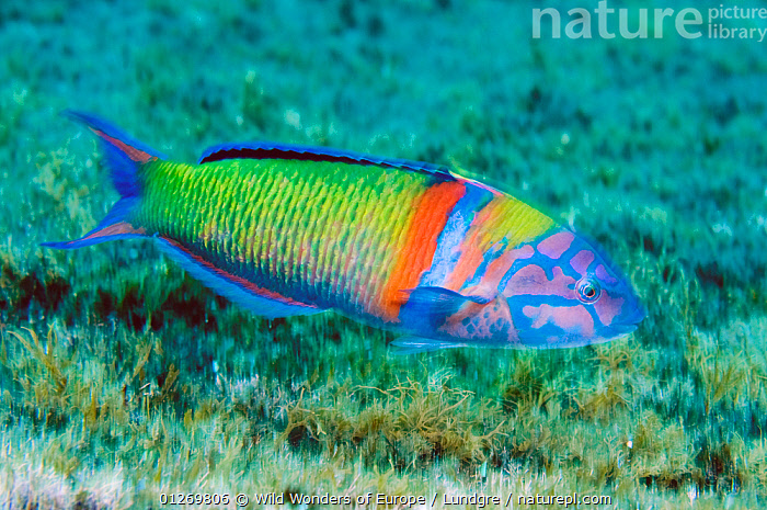 Turkish wrasse (Thalassoma pavo) Pico, Azores, Portugal, July 2009  ,  ATLANTIC,COLOURFUL,EUROPE,FISH,MAGNUS LUNDGREN,MARINE,MOVEMENT,OSTEICHTHYES,PORTRAITS,PORTUGAL,PROFILE,TEMPERATE,UNDERWATER,VERTEBRATES,WRASSE,WWE,AZORES  ,  Wild Wonders of Europe / Lundgre