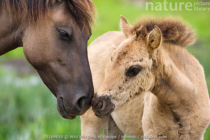 Konik horse and young foal interacting, Oostvaardersplassen, Netherland, June 2009  ,  BABIES,CUTE,EUROPE,FOALS,GREETING,HOLLAND,HORSES,INTERACTION,MAMMALS,MARK HAMBLIN,MOTHER BABY,NETHERLANDS,PERISSODACTYLA,RESERVE,THE NETHERLANDS,VERTEBRATES,WETLANDS,WWE,Equines  ,  Wild Wonders of Europe / Hamblin