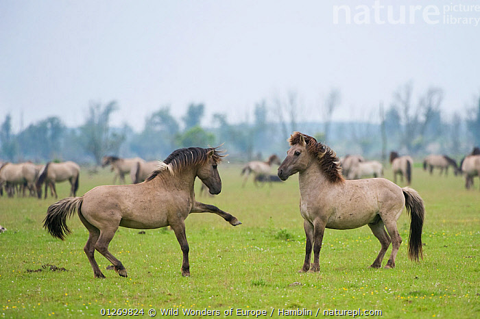 Konik horse, stallions squaring up ready to fight, Oostvaardersplassen, Netherlands, June 2009  ,  BEHAVIOUR,EUROPE,FIGHTING,HOLLAND,HORSES,MALES,MAMMALS,MARK HAMBLIN,NETHERLANDS,PERISSODACTYLA,RESERVE,THE NETHERLANDS,VERTEBRATES,WETLANDS,WWE,Aggression,Concepts,Equines  ,  Wild Wonders of Europe / Hamblin