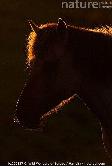 Konik horse silhouetted and backlit at sunset, Oostvaardersplassen, Netherlands, June 2009  ,  EUROPE,HEADS,HOLLAND,HORSES,MAMMALS,MARK HAMBLIN,NETHERLANDS,PERISSODACTYLA,RESERVE,SILHOUETTES,SUNSET,THE NETHERLANDS,VERTEBRATES,VERTICAL,WETLANDS,WWE,Equines  ,  Wild Wonders of Europe / Hamblin