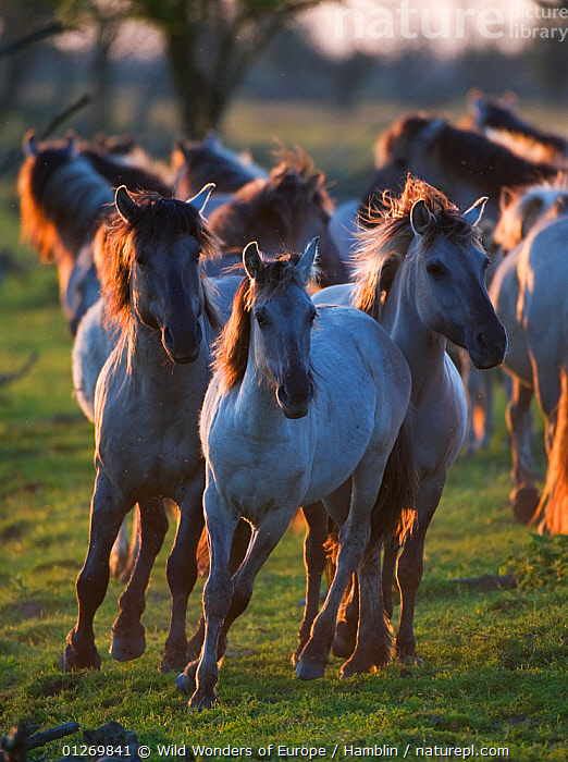Konik horses at sunset, Oostvaarderplassen, Netherlands, June 2009  ,  EUROPE,GROUPS,HOLLAND,HORSES,MAMMALS,MARK HAMBLIN,NETHERLANDS,PERISSODACTYLA,RESERVE,THE NETHERLANDS,VERTEBRATES,VERTICAL,WETLANDS,WWE,Equines  ,  Wild Wonders of Europe / Hamblin
