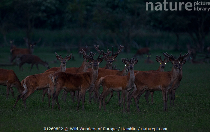 Red deer (Cervus elaphus) stags at dusk showing eye shine, Oostvaardersplassen, Netherlands, June 2009  ,  ARTIODACTYLA,CERVIDS,DEER,DUSK,EUROPE,EYES,GROUPS,HOLLAND,MALES,MAMMALS,MARK HAMBLIN,NETHERLANDS,NIGHT,RESERVE,THE NETHERLANDS,VERTEBRATES,WETLANDS,WWE  ,  Wild Wonders of Europe / Hamblin