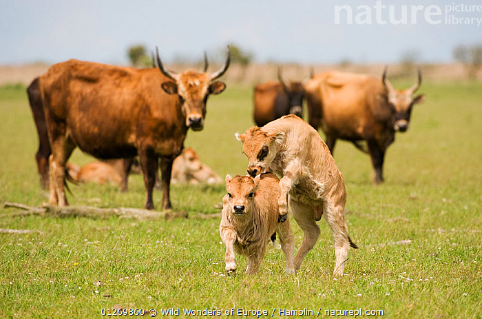Two Heck cattle calves playing, Oostvaardersplassen, Netherlands, June 2009  ,  ARTIODACTYLA,BABIES,BEHAVIOUR,BOVIDS,CATTLE,EUROPE,GROUPS,HOLLAND,LIVESTOCK,MAMMALS,MARK HAMBLIN,NETHERLANDS,PLAY,RESERVE,THE NETHERLANDS,VERTEBRATES,WETLANDS,WWE,Communication  ,  Wild Wonders of Europe / Hamblin