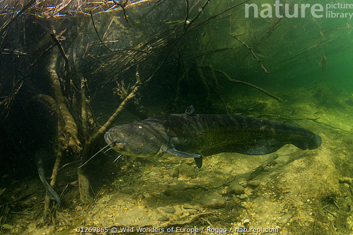 Wels (Silurus glanis) during the spawning period, Rio Ebro, Spain, May 2007  ,  CATFISH,EUROPE,FISH,FRESHWATER,MARINE,MICHEL ROGGO,OSTEICHTHYES,RIVERS,ROOTS,SPAIN,TEMPERATE,UNDERWATER,VERTEBRATES,WWE  ,  Wild Wonders of Europe / Roggo