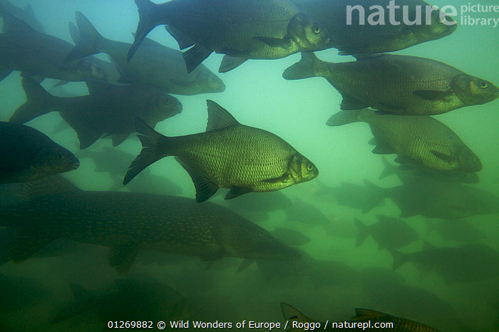 Bream (Abramis brama) and Pike (Esox lucius)