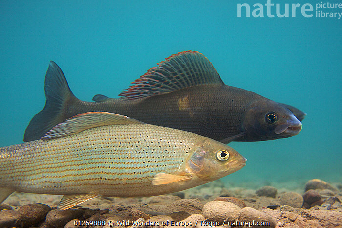 European grayling (Thymallus thymallus) pair spawning, the dark one is the male, Lake Thun, Thun, Switzerland, March 2009  ,  EUROPE,FISH,FRESHWATER,GRAYLING,LAKES,MALE FEMALE PAIR,MICHEL ROGGO,OSTEICHTHYES,PROFILE,REPRODUCTION,SWITZERLAND,TEMPERATE,UNDERWATER,VERTEBRATES,WWE  ,  Wild Wonders of Europe / Roggo