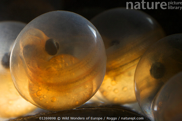 European grayling (Thymallus thymallus) eggs, 17 days, from Lake Thun, Switzerland, captive, April 2009  ,  ALEVINS,EGGS,EUROPE,FISH,FRESHWATER,GRAYLING,MICHEL ROGGO,OSTEICHTHYES,SWITZERLAND,TEMPERATE,UNDERWATER,VERTEBRATES,WWE  ,  Wild Wonders of Europe / Roggo