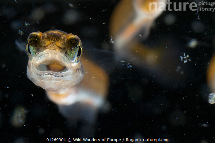 European grayling (Thymallus thymallus) alevin, 18 days, feeding on zooplankton, from Lake Thun, Switzerland, captive, April 2009  ,  BABIES,EUROPE,FEEDING,FISH,FRESHWATER,GRAYLING,MICHEL ROGGO,MOUTHS,OSTEICHTHYES,PLANKTON,SWITZERLAND,TEMPERATE,UNDERWATER,VERTEBRATES,WWE  ,  Wild Wonders of Europe / Roggo