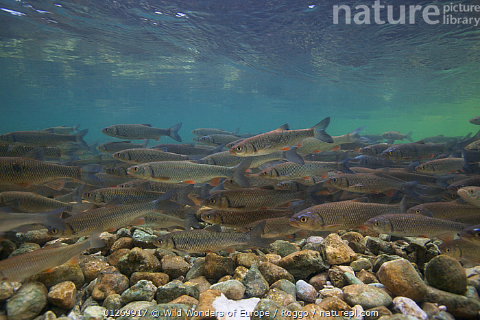 Chub (Squalius / Leuciscus cephalus) on spawning ground, Sava river, Slovenia, June 2009  ,  BEHAVIOUR, CARPS, chubb, EUROPE, FISH, FRESHWATER, GROUPS, LANDSCAPES, michel-roggo, OSTEICHTHYES, RIVERS, squalius, TEMPERATE, UNDERWATER, VERTEBRATES, WWE  ,  Wild Wonders of Europe / Roggo