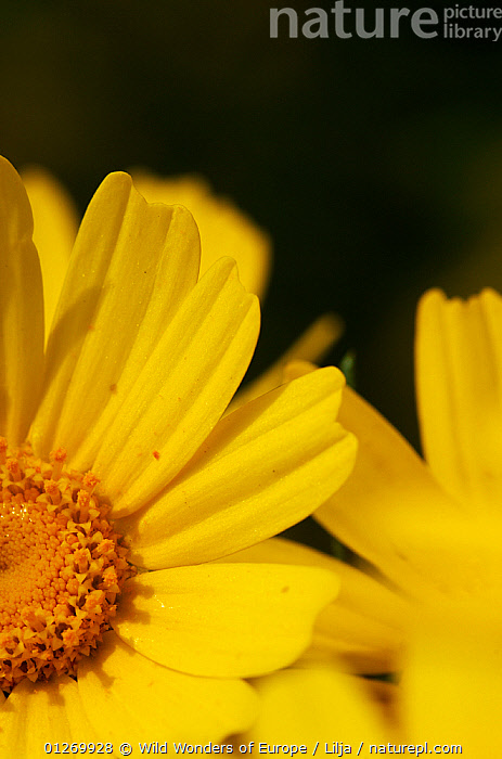 Close-up of a Crown daisy (Glebionis coronarium) flower, Cyprus, April 2009  ,  ASTERACEAE, CLOSE-UPS, COMPOSITAE, CYPRUS, DICOTYLEDONS, EUROPE, FLOWERS, petals, Peter-Lilja, PLANTS, VERTICAL, WWE, YELLOW  ,  Wild Wonders of Europe / Lilja
