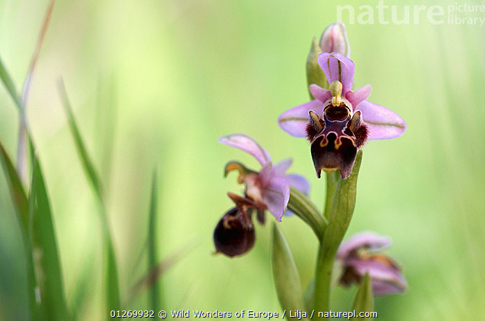 Bee orchid (Ophrys cornuta) in flower, Akamas peninsula, Cyprus, April 2009  ,  CYPRUS,EUROPE,FLOWERS,MONOCOTYLEDONS,ORCHIDACEAE,ORCHIDS,PETER LILJA,PLANTS,PURPLE,WWE  ,  Wild Wonders of Europe / Lilja