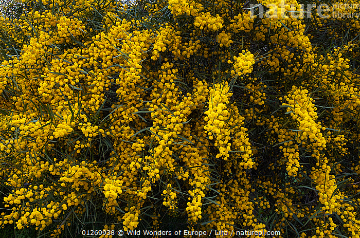 Blue leaf wattle (Acacia cyanophylla) in flower, Northern Cyprus, April 2009  ,  CYPRUS,DICOTYLEDONS,EUROPE,FABACEAE,FLOWERS,LEGUME,PETER LILJA,PLANTS,WWE,YELLOW  ,  Wild Wonders of Europe / Lilja