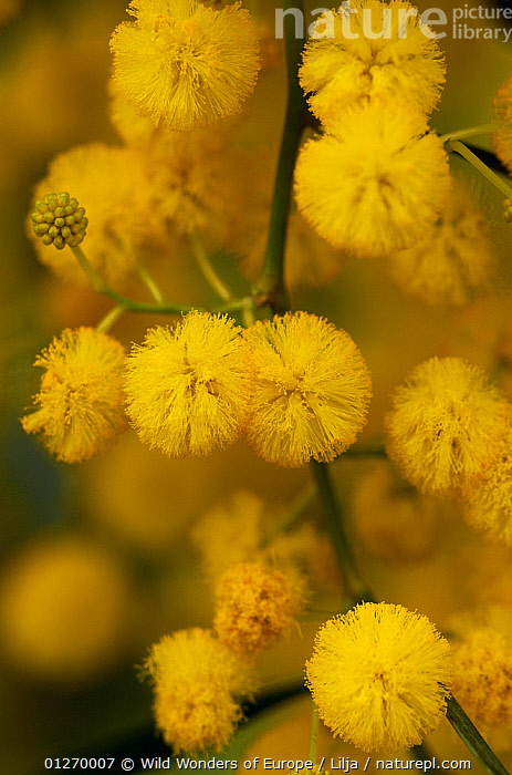 Blue leaf wattle (Acacia cyanophylla) close-up of flowers, Limassol, Cyprus, April 2009  ,  CLOSE UPS,CYPRUS,DICOTYLEDONS,EUROPE,FABACEAE,FLOWERS,LEGUME,PETER LILJA,PLANTS,POLLEN,VERTICAL,WWE,YELLOW  ,  Wild Wonders of Europe / Lilja