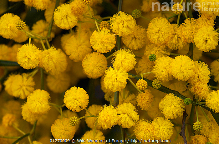 Blue leaf wattle (Acacia cyanophylla) close-up of flowers, Limassol, Cyprus, April 2009  ,  CYPRUS,DICOTYLEDONS,EUROPE,FABACEAE,FLOWERS,GROUPS,LEGUME,PETER LILJA,PLANTS,POLLEN,WWE,YELLOW  ,  Wild Wonders of Europe / Lilja