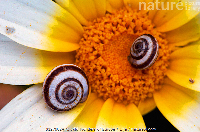 Snail shells on Crown daisy (Glebionis coronarium) flower, Kritsa, Crete, Greece, April 2009  ,  ASTERACEAE, CLOSE-UPS, COMPOSITAE, DICOTYLEDONS, EUROPE, FLOWERS, GASTROPODS, GREECE, INVERTEBRATES, MOLLUSCS, Peter-Lilja, PLANTS, shells, SNAILS, two, WWE  ,  Wild Wonders of Europe / Lilja