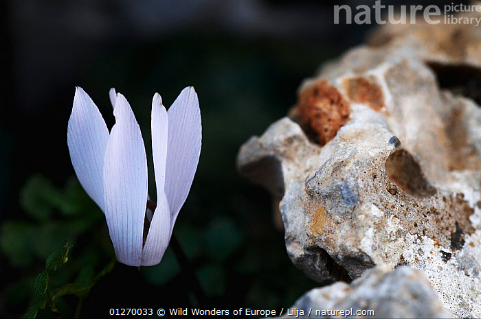 Cretan sowbread / cyclamen (Cyclamen creticum) flower, Katharo, Crete, Greece, April 2009  ,  DICOTYLEDONS, EUROPE, FLOWERS, GREECE, Peter-Lilja, PLANTS, PRIMULACEAE, WWE  ,  Wild Wonders of Europe / Lilja