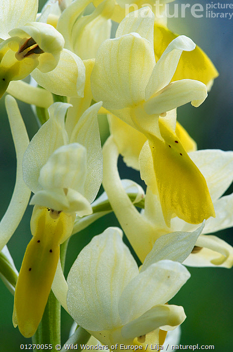Sparsely-flowering orchid (Orchis pauciflora) close-up of flowers, Katharo, Crete, Greece, April 2009  ,  CLOSE UPS,EUROPE,FLOWERS,GREECE,MONOCOTYLEDONS,ORCHIDACEAE,ORCHIDS,PETER LILJA,PLANTS,VERTICAL,WWE,YELLOW  ,  Wild Wonders of Europe / Lilja