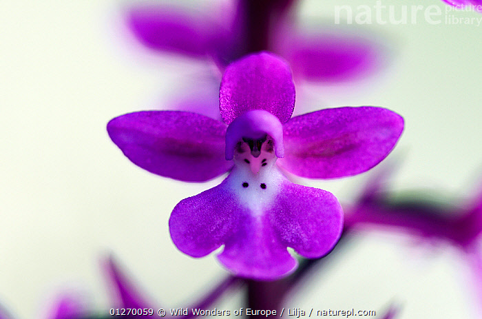 Four-spotted orchid (Orchis quadripunctata) close-up of flower, Katharo, Crete, Greece, April 2009  ,  CLOSE UPS,EUROPE,FLOWERS,GREECE,MONOCOTYLEDONS,ORCHIDACEAE,ORCHIDS,PETER LILJA,PLANTS,PURPLE,WWE  ,  Wild Wonders of Europe / Lilja