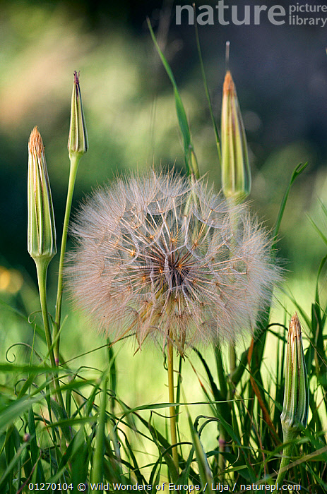 Goatsbeard / Salsify (Tragopogon sinuatus) seed head, Prina, Crete, Greece, April 2009  ,  ASTERACEAE,COMPOSITAE,DICOTYLEDONS,EUROPE,GREECE,PETER LILJA,PLANTS,SEEDS,VERTICAL,WWE  ,  Wild Wonders of Europe / Lilja