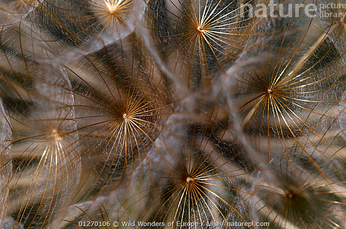 Close-up of Goatsbeard / Salsify (Tragopogon sinuatus) seed head, Prina, Crete, Greece, April 2009  ,  ASTERACEAE,CLOSE UPS,COMPOSITAE,DICOTYLEDONS,EUROPE,GREECE,PETER LILJA,PLANTS,SEEDS,WWE  ,  Wild Wonders of Europe / Lilja