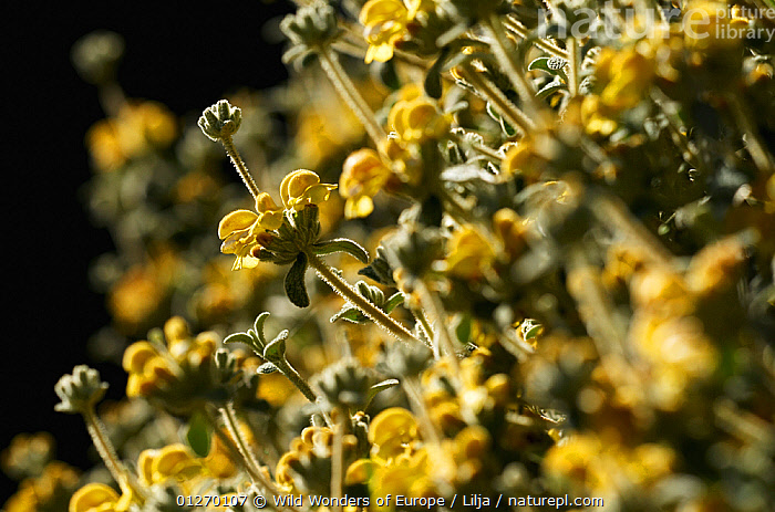 Willdenow (Phlomis lanata) in flower, Prina, Crete, Greece, April 2009  ,  DICOTYLEDONS,ENDEMIC,EUROPE,FLOWERS,GREECE,HERBS,LAMIACEAE,PETER LILJA,PLANTS,WWE,YELLOW  ,  Wild Wonders of Europe / Lilja