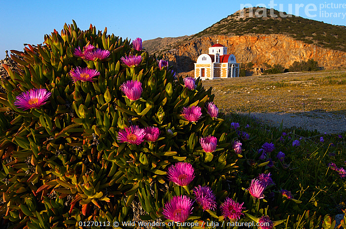 Hottentot fig (Carpobrotus edulis) in flower with a church in the background, Pachia Ammos, Crete, Greece, April 2009  ,  AIZOACEAE,BUILDINGS,CHURCHES,DICOTYLEDONS,EUROPE,FLOWERS,GREECE,LANDSCAPES,PETER LILJA,PINK,PLANTS,SUCCULENT,WWE  ,  Wild Wonders of Europe / Lilja