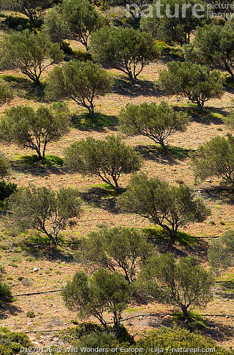 Olive trees (Olea europea) in dry landscape, Palekastro, Crete, Greece, April 2009  ,  CROPS,DICOTYLEDONS,EUROPE,GREECE,GROUPS,LANDSCAPES,OLEACEAE,PETER LILJA,PLANTS,TREES,VERTICAL,WWE  ,  Wild Wonders of Europe / Lilja