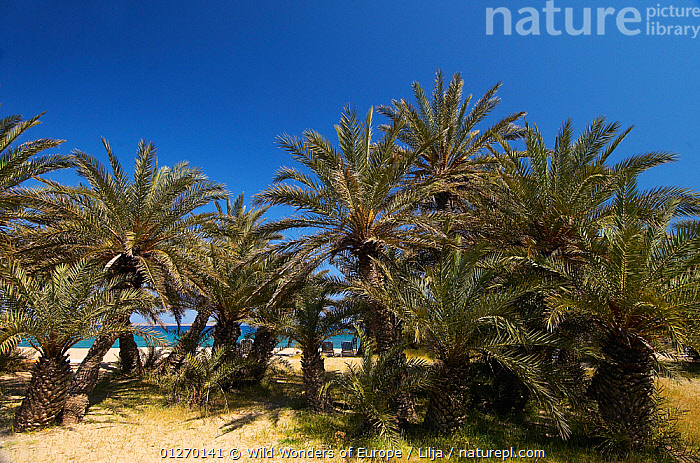 Cretan date palms (Phoenix theophrasti) Vai, Crete, Greece, April 2009  ,  ARECACEAE, COASTS, EUROPE, GREECE, GROUPS, LANDSCAPES, MONOCOTYLEDONS, PALMS, Peter-Lilja, PLANTS, TREES, WWE  ,  Wild Wonders of Europe / Lilja