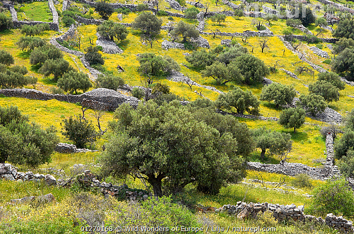 Cretan landscape with Olive trees, Epano Pines, Crete, Greece, April 2009  ,  CROPS,EUROPE,GREECE,GROUPS,LANDSCAPES,OLEACEAE,PATTERNS,PETER LILJA,PLANTS,TREES,WALLS,WWE  ,  Wild Wonders of Europe / Lilja