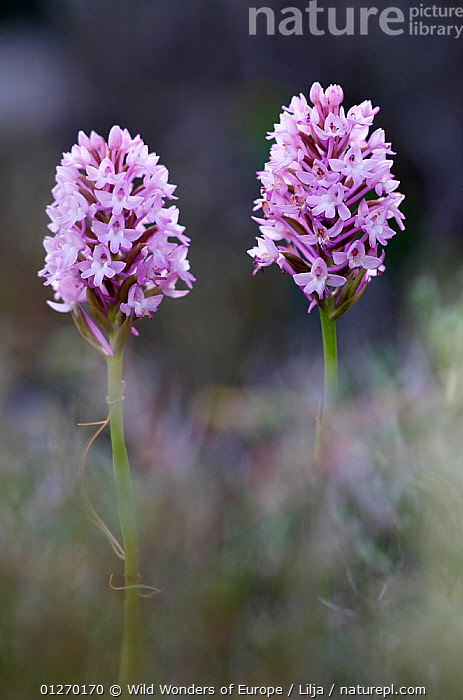 Two Pyramidal orchids (Anacamptis pyramidalis) in flower, Kato Archanes, Crete, Greece, April 2009, EUROPE,FLOWERS,GREECE,MONOCOTYLEDONS,ORCHIDACEAE,PETER LILJA,PINK,PLANTS,VERTICAL,WWE, Wild Wonders of Europe / Lilja