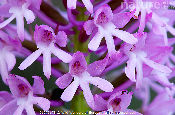 Pyramidal orchid (Anacamptis pyramidalis) close-up of flowers, Kato Archanes, Crete, Greece, April 2009  ,  CLOSE UPS,EUROPE,FLOWERS,GREECE,MONOCOTYLEDONS,ORCHIDACEAE,PETER LILJA,PLANTS,PURPLE,WWE  ,  Wild Wonders of Europe / Lilja