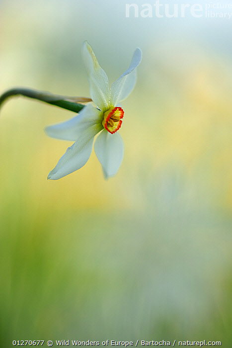 Poet's daffodil (Narcissus poeticus) flower, Piano Grande, Monti Sibillini National Park, Umbria, Italy, May 2009  ,  AMARYLLIDACEAE,ARTY SHOTS,EUROPE,FLOWERS,ITALY,MONOCOTYLEDONS,NP,PLANTS,RESERVE,SANDRA BARTOCHA,VERTICAL,WWE,National Park  ,  Wild Wonders of Europe / Bartocha