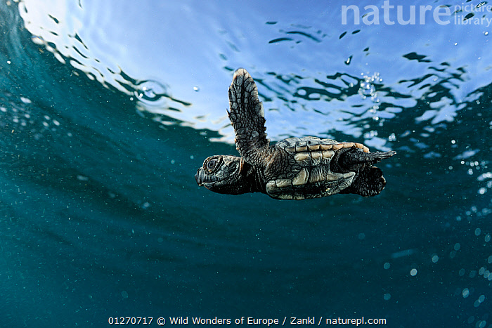 Newly hatched Loggerhead turtle (Caretta caretta) swimming in sea, Dalyan Delta, Turkey, July 2009, BABIES,CHELONIA,ENDANGERED,EUROPE,LOW ANGLE SHOT,MARINE,MEDITERRANEAN,REPTILES,SEA TURTLES,SOLVIN ZANKL,SWIMMING,TEMPERATE,TURKEY,TURTLES,UNDERWATER,WWE, Wild Wonders of Europe / Zankl