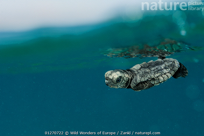 Newly hatched Loggerhead turtle (Caretta caretta) with its front flippers pressed tight to the marginal scutes of its carapace to avoid predation, Dalyan Delta, Turkey, August 2009, BABIES,BEHAVIOUR,CHELONIA,CUTE,DEFENSIVE,ENDANGERED,EUROPE,MARINE,MEDITERRANEAN,REFLECTIONS,REPTILES,SEA TURTLES,SOLVIN ZANKL,TURKEY,TURTLES,UNDERWATER,WWE,,Rebel,, Wild Wonders of Europe / Zankl