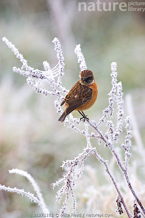 Common stonechat (Saxicola torquata) male in winter plumage perched in frost covered bush, Ibsley, Hampshire, England, December, BIRDS,CHATS,EUROPE,FROST,MALES,SAXICOLA RUBICOLA,UK,VERTEBRATES,VERTICAL,Weather, United Kingdom, Mike Read