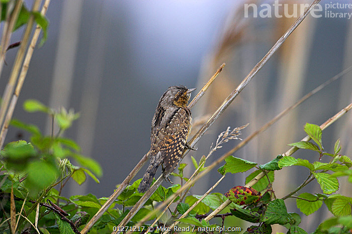 Eurasian wryneck (Jynx torquilla) perched on vegetation during spring migration, near the Etang de Biguglia, Corsica, France, April  ,  BIRDS,EUROPE,FRANCE,VERTEBRATES,WRYNECKS  ,  Mike Read