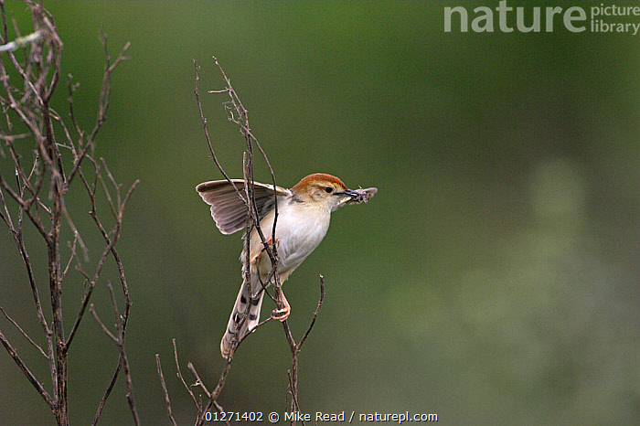 Levaillant's cisticola {Cisticola tinniens} with food for young, Darvill Bird Sanctuary, South Africa, November  ,  BIRDS,CISTICOLAS,FEEDING,SOUTH AFRICA,VERTEBRATES  ,  Mike Read