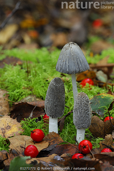 Ink cap fungus {Corprinus lagopides} with red berries and moss, Peatlands Park, Annagarriff Wood NNR, County Armagh, Northern Ireland  ,  COPRINACEAE,EUROPE,FUNGI,INK CAP,UK,ULSTER,VERTICAL, United Kingdom  ,  Robert Thompson