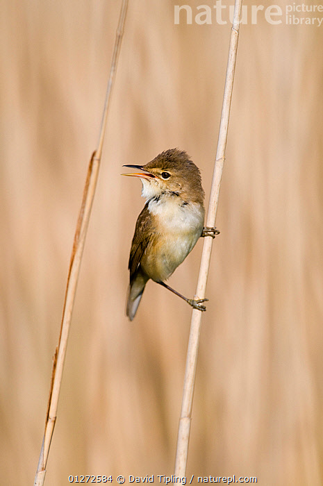 Nature Picture Library Reed Warbler Acrocephalus Scirpaceus Singing Perched On Reed Stem Norfolk Uk David Tipling