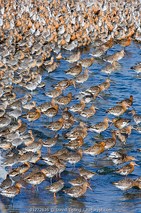 Mixed flock of Black-tailed Godwit {Limosa limosa} with Knot {Calidris canutus} and Redshank {Tringa totanus} at high tide roost, Snettisham RSPB Reserve, The Wash, Norfolk, UK, August  ,  animals in the wild,BIRDS,Calidris canatus,CATALOGUE2,Community,EUROPE,GODWITS,high tide,knot,large group of animals,MIXED SPECIES,nature,Nobody,Norfolk,outdoors,Redshank,RESERVE,roosting,RSPB,Snettisham,STANDING,The Wash,Togetherness,Tringa totanus,UJ,UK,VERTEBRATES,VERTICAL,WADERS,WATER,waters edge,WILDLIFE,wildlife reserve,United Kingdom  ,  David Tipling