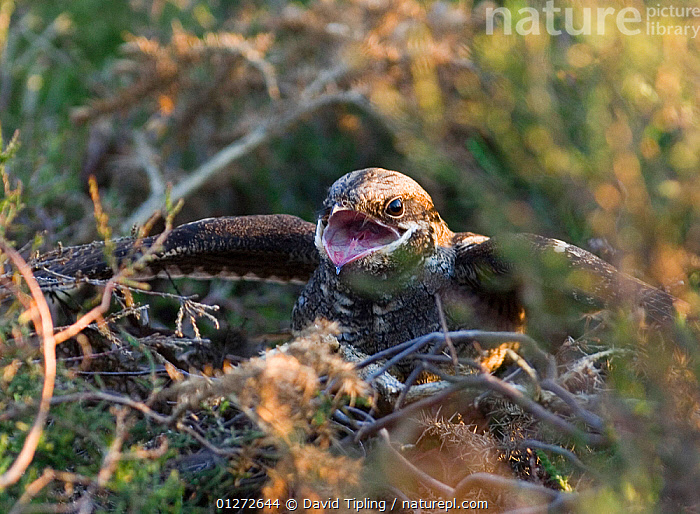 Nightjar {Caprimulgus europaeus} at nest in threat display towards advancing Adder, North Norfolk, UK, May, BEHAVIOUR,BIRDS,DEFENSIVE,DISPLAY,EUROPE,NESTS,NIGHTJARS,SNAKE,UK,VERTEBRATES,VOCALISATION,Communication, United Kingdom, David Tipling