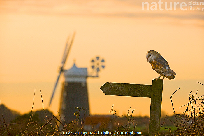 Barn Owl {Tyto alba} perched on public footpath signpost, Cley, North Norfolk, UK, December, BIRDS,BUILDINGS,CATALOGUE2,cley,DUSK,EUROPE,focus on foreground,Guidance,knowledge,Nobody,Norfolk,one animal,outdoors,OWLS,Perching,selective focus,side view,signpost,SIGNS,SKY,UK,VERTEBRATES,WILDLIFE,windmill,United Kingdom,Raptor, David Tipling