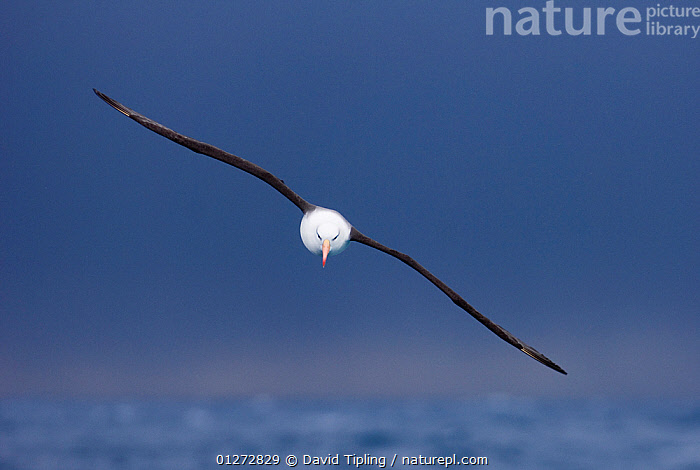 Black-browed albatross {Thalassarche melanophrys} in flight over the Southern Ocean, nr South Georgia, November  ,  aerodynamic,ALBATROSSES,animals in the wild,ANTARCTICA,BIRDS,CATALOGUE2,close up,CLOSE UPS,CUTOUT,DIOMEDEA MELANOPHRYS,direction,ease,ELEGANCE,FLYING,FREEDOM,front view,grace,Nobody,one animal,outdoors,SEABIRDS,SOUTH GEORGIA,southern ocean,VERTEBRATES,WATER,WILDLIFE,wings spread,wingspan  ,  David Tipling