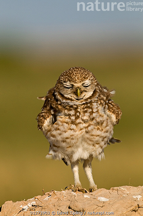 Burrowing owl (Athene cunicularia) resting, Salton Sea, California, USA, April, animal marking,animals in the wild,BIRDS,BIRDS OF PREY,California,CATALOGUE2,close up,CLOSE UPS,CUTE,eyes closed,FLUFFY,front view,HUMOROUS,humour,Nobody,NORTH AMERICA,one animal,outdoors,OWLS,plumage,PORTRAITS,resting,Salton Sea,SLEEPING,STANDING,USA,VERTEBRATES,VERTICAL,WILDLIFE,Concepts,Raptor, David Tipling