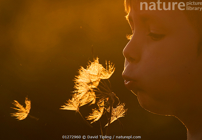 Child blowing seed head, Norfolk, UK, May, model released, BLOWING,Boy,CATALOGUE2,CHILDREN,DUSK,EUROPE,Evening,nature,nature lover,Norfolk,one person,ORANGE,outdoors,PEOPLE,seed head,SEEDS,time ,UK,United Kingdom, David Tipling