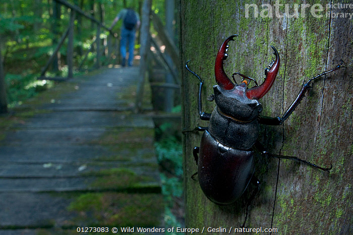 Male Stag beetle {Lucanus cervus} on a post with a hiker walking crossing a wooden bridge in the background, Codrii Reserve, Central Moldova, June 2009  ,  BEETLES,COLEOPTERA,EUROPE,HIKING,INSECTS,INVERTEBRATES,LAURENT GESLIN,LEISURE,MALES,MOLDOVA,PEOPLE,RESERVE,STAG BEETLES,WWE  ,  Wild Wonders of Europe / Geslin
